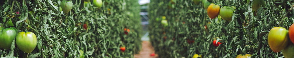 vegetables growing in agricultural building powered by greenhouse generator